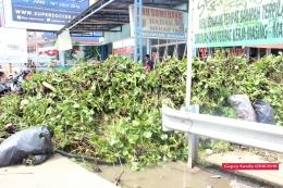 Timbunan eceng gondok yang berhasil dikumpulkan. (Foto: Gapey Sandy)