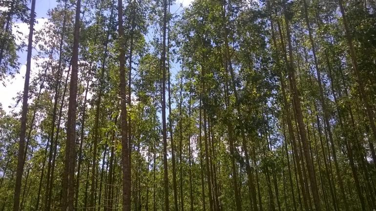 Hamparan pohon akasia dan eucalyptus yang mendominasi sepanjang jalan menuju Arboretum (foto: istimewa)