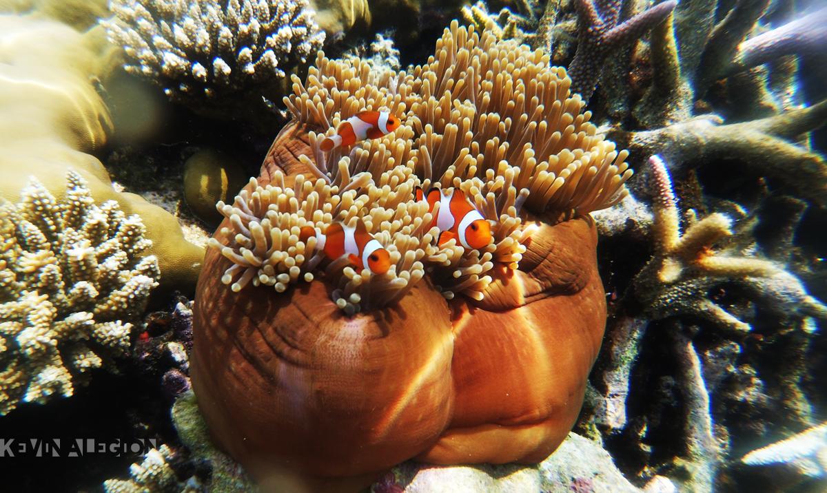 Clown fish bergerumul di anemon   Foto: Kevinalegion