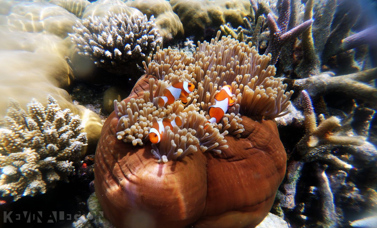 Ikan anemon, jika anemon ini hilang dari habitat makan kumpulan ikan ini juga akan hilang.