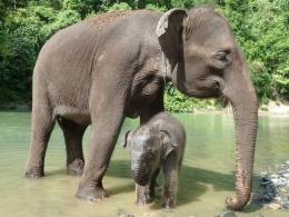 Bayi gajah bernama Eropa bersama induknya diadopsi oleh Uni Eropa dan dijadikan maskot. (foto: website Uni Eropa http://bit.ly/eu_mascots))