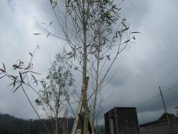 tanaman kayu putih