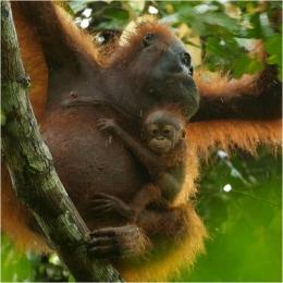 Orangutan dan bayinya di TNGP Foto dok. Yayasan Palung dan Tim Laman