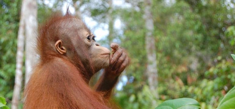 Orangutan. Sumber: orangutan.org