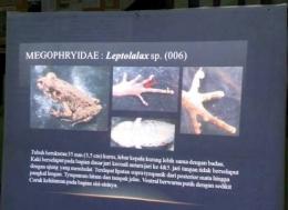 Jenis Kodok, yang diperkirakan jenis Leptolalax sp . Sumber data Margie