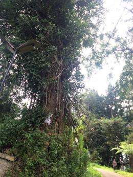 Pohon Gadog (Bischofia Javanica Blume)   dokpri