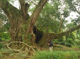 Pohon Karet Kebo (bahasa setempat) di Makam Jerman (Foto: Bimo Tedjokusumo)