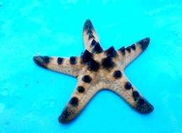 Bintang laut di perairan desa Kelaan, Pulau Larat (Dokumentasi Pribadi)