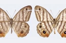 Euptychia attenboroughi kupu kupu langka. Sumber: Andrew Neild/Natural History Museum