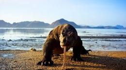 Pernah meliput komodo di pulau Komodo. Photo: i.dailymail.co.uk