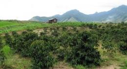 Hamparan Kebun Kopi di Habinsaran (Foto: Trubus-Online)