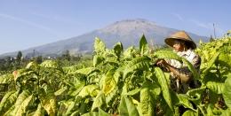 Petani tembakau (Sumber: kretek.co)