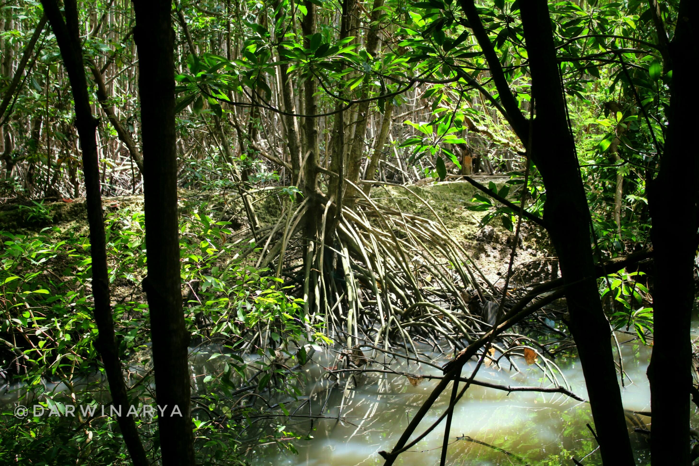 Salah Satu Pohon Mangrove. Akar-akarnya Mencengkram Bumi Kuat / dap