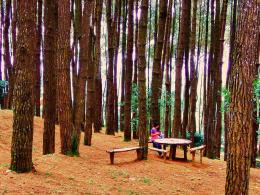 Dokumen pribadi. Suasana asri dan alami hutan Pinus Pengger