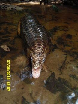 Si Manis javanica yang dijumpai di Bukit Tarak. Foto 2, dok. Wawan, Pematang Gadung