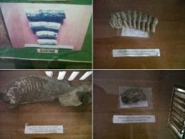 Sejumlah fragmen fosil vertebrata di ruang pamer Rumah Informasi Kawasan Prasejarah Caleo, kabupaten Soppeng/Ft: Mahaji Noesa