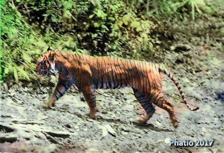 Harimau_Jawa_Panthera_Tigris_Javanica