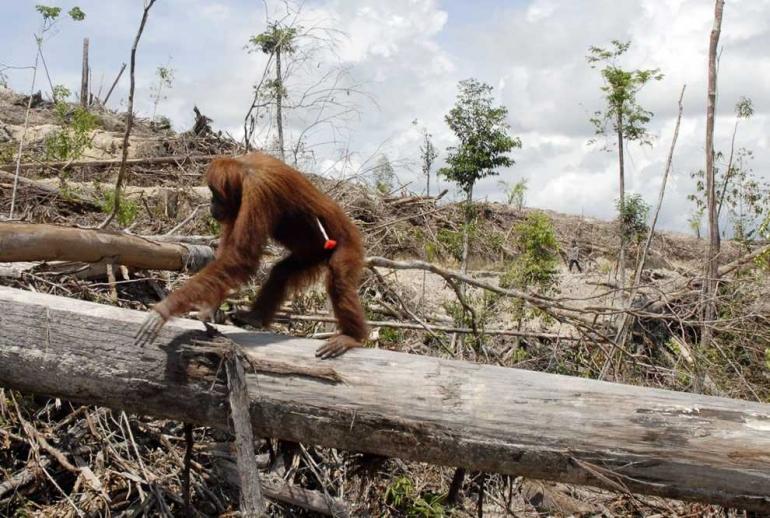 Salah satu satwa Indonesia  yang menjadi perhatian dunia. Photo :   www.forestmountainservices.com