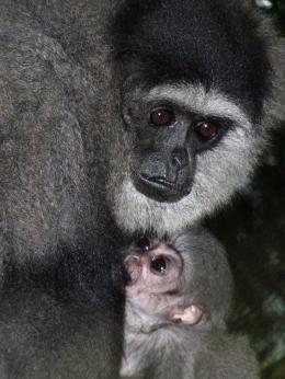 Owa jawa, hewan endemik Indonesia di ambang kepunahan (dok. Pertamina)