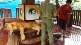 Taman Safari Indonesia diduga membius seekor singa untuk digunakan sebagai properti foto para turis.