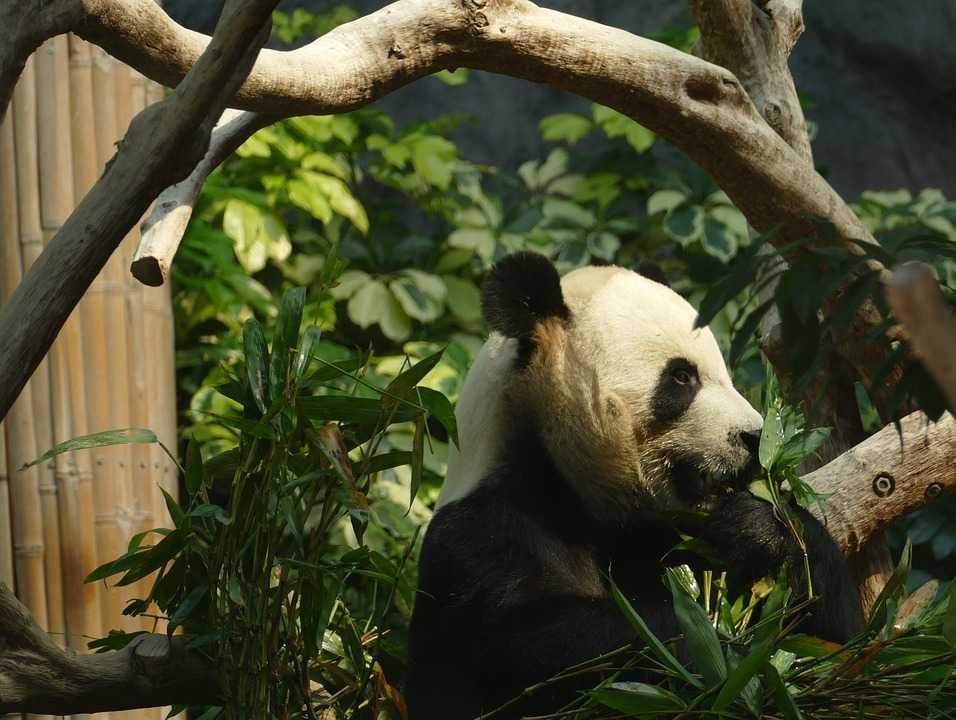 Ilustrasi Panda (sumber: Pixabay)