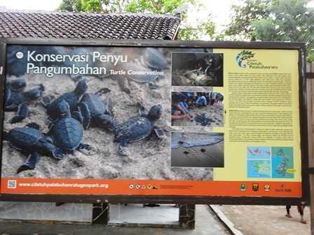 Konservasi Penyu di Panumbahan - Ujung Genteng (Dokpri)
