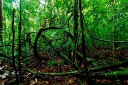 Tipe hutan Aluvial, salah satunya byk terdapat liana. Foto dok. Wahyu Susanto, Yayasan Palung (GPOCP)