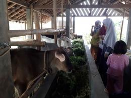melihat peternaakan sapi (foto pribadi)