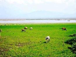 Danau Limboto Jadi Padang Rumput (Dokpri)