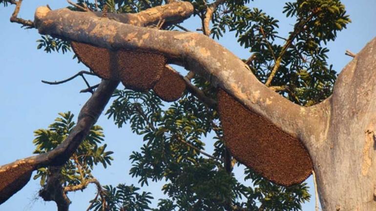 Lebah nempel di pohon. Sumber ilustrasi: lintasgayo.co