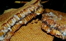 Larva di dalam sarang. Sumber ilustrasi: metroterkini.com