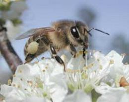 Lebah mengisap sari bunga. Sumber Ilustrasi: tekno.tempo.co