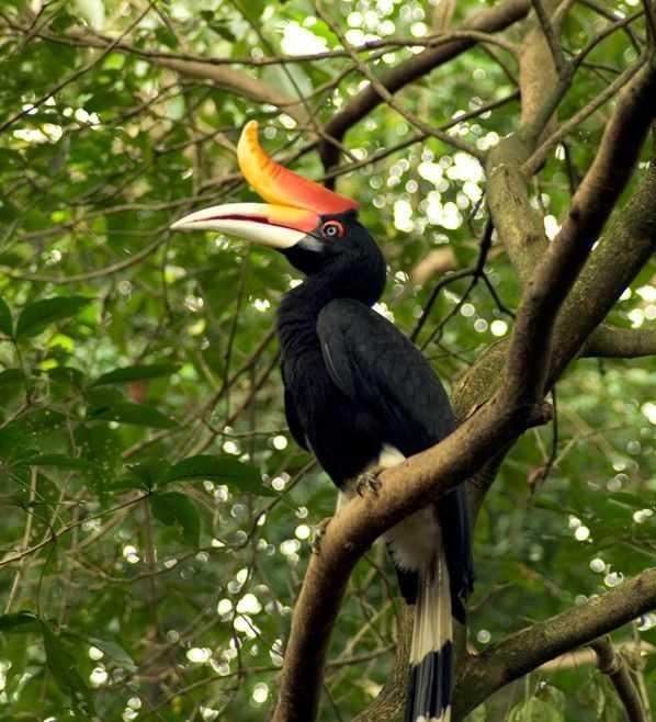 Enggang Si Petani Hutan yang Tanpa Pamrih. foto dok. ecolodgesindonesia.com