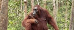 Orangutan (orangutan.org)