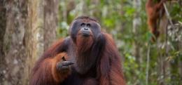 Orangutan dewasa (orangutan.org)