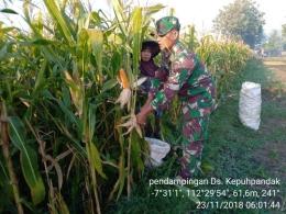 Babinsa Koramil 0815/13 Kutorejo Sertu Abdul Kholik Saat Mendampingi Petani Desa Kepuhpandak Panen Jagung