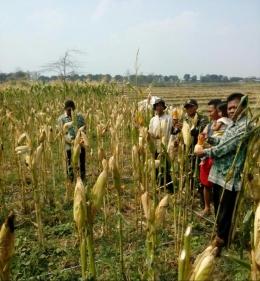 Babinsa Koramil 0815/13 Kutorejo Serka Hendro Winarto Bersama PPL Melakukan Pengubinan Jagung Di Sampangagung