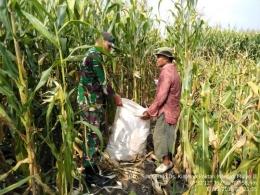 Babinsa Kintelan Serda Yudi Setiyanto Saat Membantu Petani Panen Jagung Di Desa Binaan