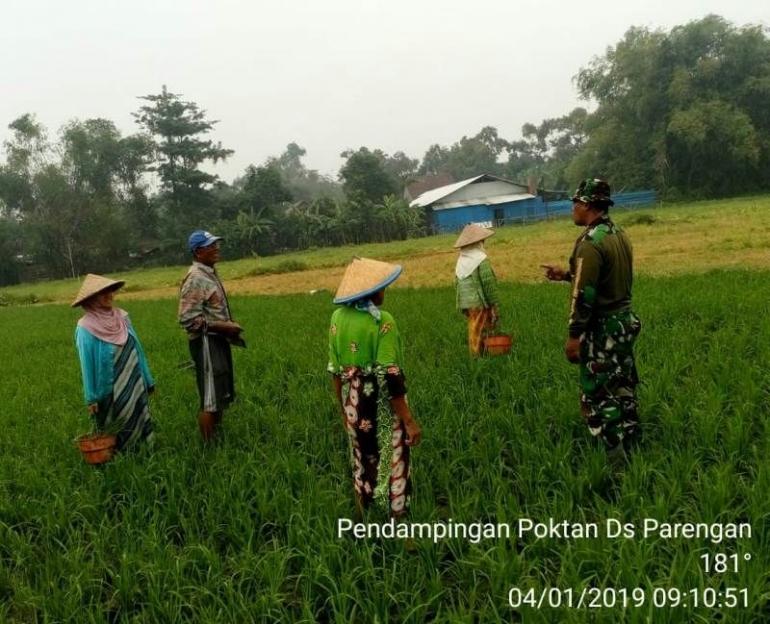 Babinsa Parengan Koramil 0815/07 Jetis Pelda Santoso Saat Mendampingi Perawatan Tanaman Padi, Jum'at (04/01/2019)