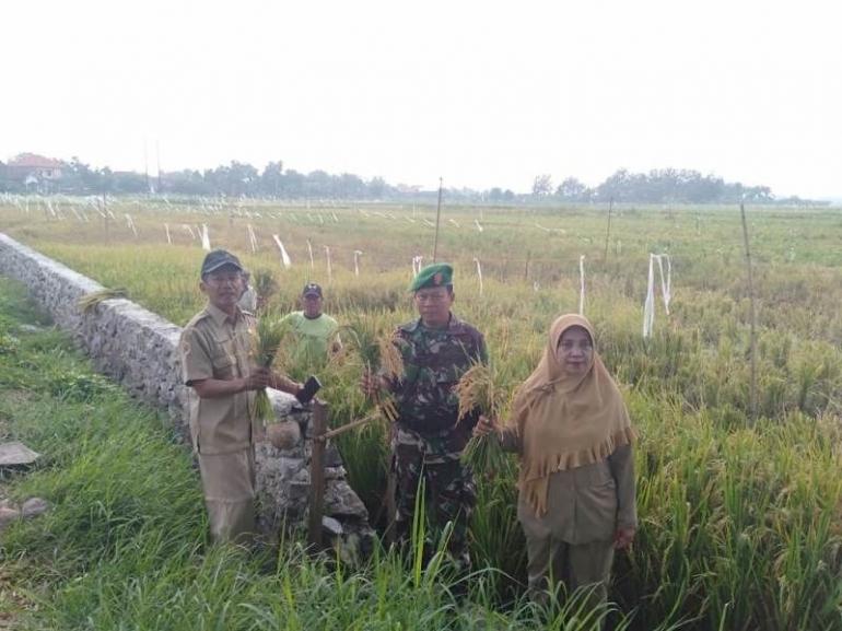 Serda Amirul Mukminin bersama Koordinator PPL Mojoanyar Supramonorini, SP Melakukan Pengubinan Padi