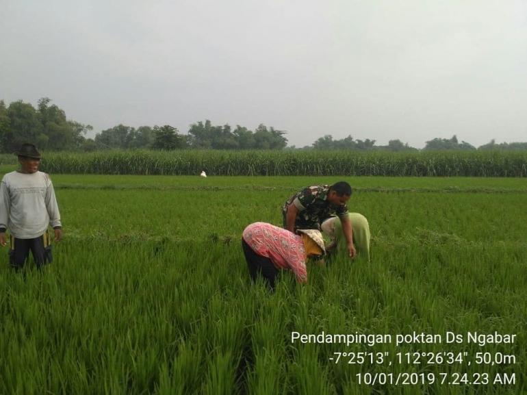 Babinsa Koramil Jetis Koptu Muhadi Dampingi Petani Bersihkan Gulma