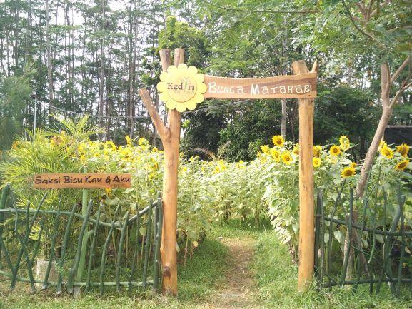 Kebun bunga matahari, salah satu wahana edukasi tumbuhan yang ada di Kediri Eco Park (foto: Luana Yunaneva)