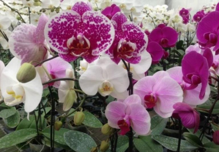 Ilustrasi tanaman bunga anggrek favorit (Sumber : masfikr.com)