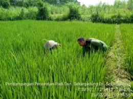 Babinsa Sekargadung Koramil 0815/11 Pungging Dampingi Petani Penyiangan Rumput Liar (Dokpri)