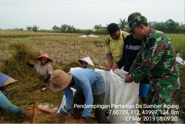 Babinsa Sumberagung Koramil 0815/15 Jatirejo Serda Husaini Dampingi Poktan Tani Makmur Panen Padi (Dokpri)
