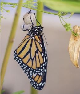 Kepompong & Kupu-kupu
