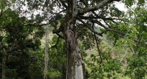 Pohon Hariara Tungkot di Kampung Sinambela, Baktiraja (Bakkara) Humbang Hasundutan. Dipercaya berasal dari tongkat Sisingamangaraja I yang ditancapkan di tanah (Foto: detik.com)