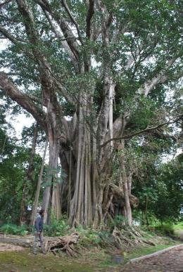 Pohon Hariara Bolon di Kampung Sukkean, Onanrunggu Samosir (Foto: vaiqbo.blogspot.com)