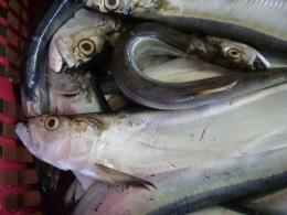 Ikan Parang. Picture taken by Safri Ishak, Pasar Muntok Bangka, 22-APR-2011.