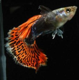 Ikan Guppy Green Red Dragon | Blogspot